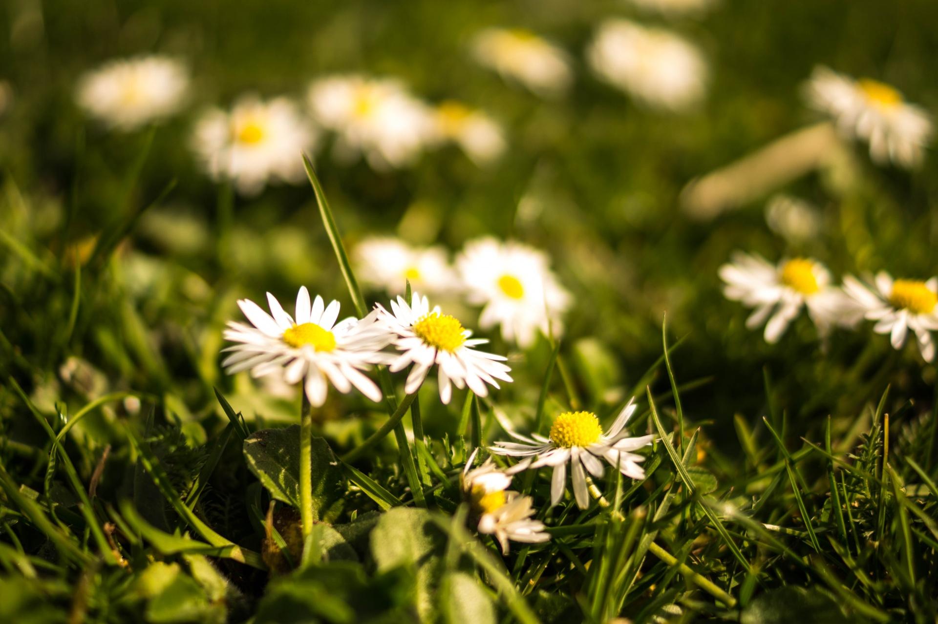Daisy-free-license-CC01